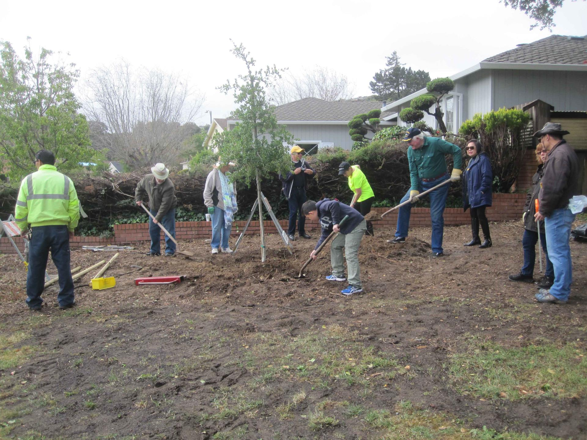Rotary Club members help to plant a Live Coast Oak Tree in Rotary Park