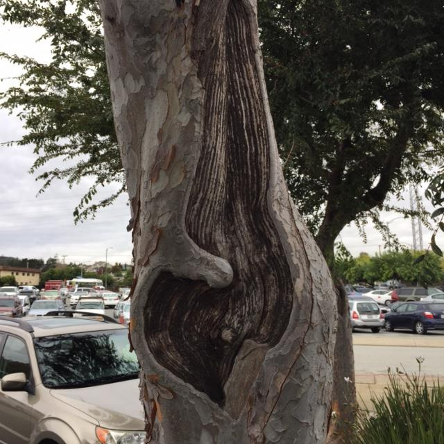 Millbrae Public Works Announcement – Removal of Infected Trees